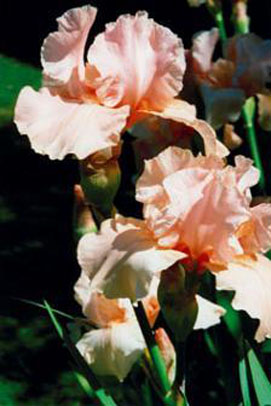 "Tall Bearded Iris - TB - ""Salute D'Amour"" Shirley Spicer - 2001"