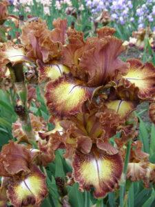 Iris Linkage
