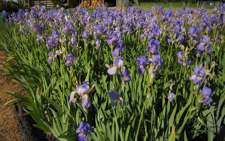 Iris pallida patch growing at Piki Carroll's place.
