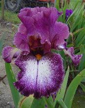 Irwell Destiny Tall Bearded Iris