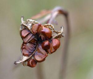 Wild Iris Seed