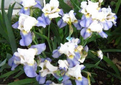 Median iris Beebop in Beth's garden