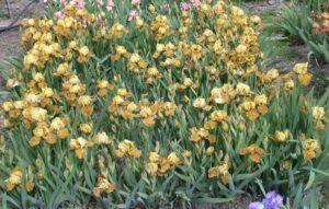 "'Rakopi' (David Nicoll, R. 2008). IB, 20"" (50 cm), Late midseason bloom."