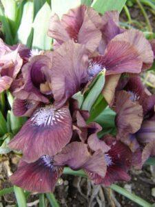 Vanilla Plum iris bred by Alison Nicoll