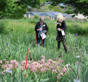 Judges Stephanie Boot and Wendy Sowerby busy reviewing the merits of each iris tagged with a red marker for the Lucy Delany award