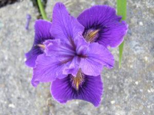 Pacific Coast seedling