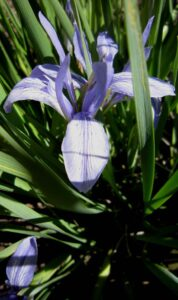 Species Winner Iris Lactea grown at Wendy's Garden