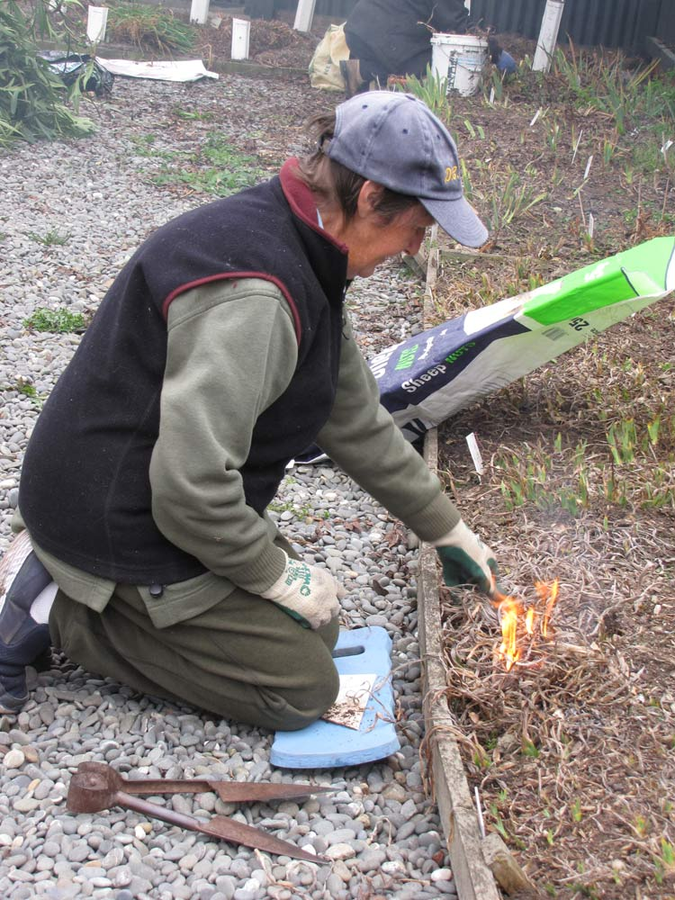 Lynda Crossen setting fire to some dwarf bearded irises